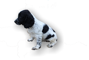 Welcome to Glastonpark Spaniels